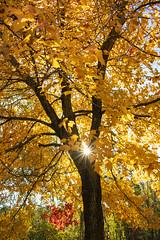 Golden light (static_dynamic) Tags: tree fallfoliage fall golden autumn yellow maryland starburst maple