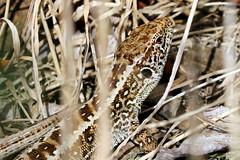 Zauneidechse - ein hübsches Weibchen (naturgucker.de) Tags: ngidn744409829 lacertaagilis zauneidechse