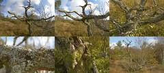 OneDeadTree (Tony Tooth) Tags: nikon d7100 samyang 8mm fisheye nikkor 40mm tree deadtree revidgemoor moors moorland warslow staffs staffordshire staffordshiremoorlands composite