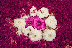 natural mat (ROGOdesign) Tags: roja flora flower flowers flor flores forest petal petals plant plants pollen polen pink nature naturaleza natural naturelovers naturephotography nikon nikonz7
