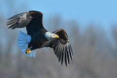 BaldieScissorsHand2PrintSmaller (2) (Rich Mayer Photography) Tags: bald eagle eagles baldie bird birds animal animals wild life wildlife nature fly flying flight nikon