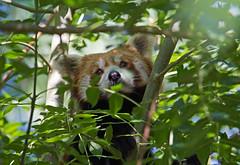 Red Panda (Ailurus fulgens) - Paignton Zoo, Devon - Sept 2019 (Dis da fi we) Tags: red panda ailurus fulgens paignton zoo devon