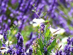 P1810045 (alainazer) Tags: valensole provence france fiori fleurs flowers fields champs colori colors couleurs lavande lavanda lavender
