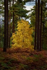 Golden Brown! (vincocamm) Tags: woods trees autumn colours green brown gold golden beacon beaconwoods bracken silverbirch pinetree nikon d5500