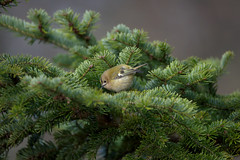 a Goldcrest (2/2) searching for food (Franck Zumella) Tags: bird small oiseau petit smallest goldcrest roitelet huppe huppé kinglet animal nature tree arbre wildlife green yellow sauvage vie vert jaune sony a7s a7 tamron 150600 a7r