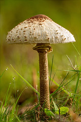 Gemeiner Riesenschirmling - Macrolepiota procera (kittimat62) Tags: pilz pilze riesenschirmling mushrooms mushroom fungus natur nature herbst herbstimmung autumn naturschutzgebiet niederrhein nrw canon eos60d