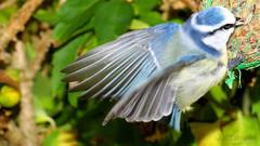 Touchdown! (Klaus • back (sometimes) •) Tags: cyanistescaeruleus paruscaeruleus meise blaumeise eurasianbluetit tit chickadee titmouse tits chickadees titmice blåmejse herrerillocomún mésangebleue cinciarella pimpelmees blåmeis blåmes アオガラ 蓝山雀 tetta teta mésange mees синица gcioch tissi baştankara αιγίθαλοσ buah dada сиса ngựanhỏ שד sjenica синигер シジュウカラ चूची 山雀 حلمةالثدي vögel birds uccelli aves oiseaux पक्षियों gevogelte pássaros 鳥類 птицы éin fåglar linnut kuşlar ταπουλιά fugler الطيور fugle burung птица ptaków chim ציפורים fuglar ptice птици