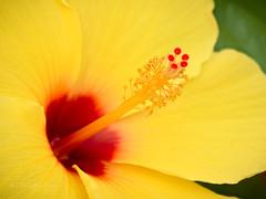 Yellow moment (Karsten Gieselmann) Tags: 60mmf28 blumen blüten bokeh dof em1markii focusstacking hibiscus hibiskus mzuiko microfourthirds natur olympus pflanzen schärfentiefe blossom flower kgiesel m43 mft nature plants tropea calabria italy