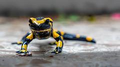 Salamandra salamandra (Alta Alteo) Tags: salamandrasalamandra echtersalamander feuersalamander tattermandl regemolli wegnarr bergnarr gelberschneider regenmännchen regenmolch erdsalamander erdmolch feuermolch salamandridae urodela amphibia chordata animalia la lacertasalamandra lurchi freihand salamander