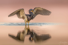 Tricolored heron (Frank Schauf Photography) Tags: animal bird dreifarbenreiher egrettatricolor florida heron nordamerika northamerica reiher schreitvogel screamingbird tier tricoloredheron usa vogel