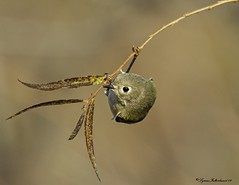 2I1A5686a (lfalterbauer) Tags: rubycrownedkinglet canon 7dmarkii nature wildlife photographer digital dslr avian ornithology flickr lightroom tree migration