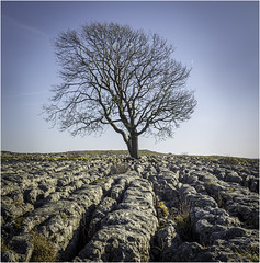 The tree at Malham Cove (Charles Connor) Tags: mallamcove mallam yorkshiredales yorkshire lonetrees trees limestonepavement limestone rocks landscapephotography landscape naturephotography nature charlesconnor canondslr