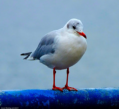 Scotland Greenock docks Fred the black headed gull looking cute in his winter plumage 24 October 2019 by Anne Mackay (Anne MacKay images of interest & wonder) Tags: scotland greenock docks bird seabird fred black headed gull winter plumage 24 october 2019 picture by anne mackay