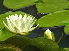 Water Lily at Gibbs Gardens (randyherring) Tags: gibbsgardens ballground ga cherokeecounty nature beauty