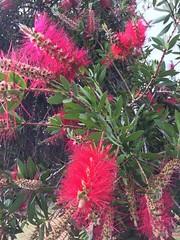 Bottlebrush (sander_sloots) Tags: bottle brush flowers bloemen plant tree perth iphone6 red rood callistemon bottlebrush australia boom struik lampenpoetser australië spring lente
