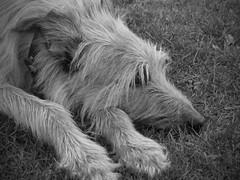 Lurcher (supermotech) Tags: lurcher dog hairy wolfhound deerhound greyhound