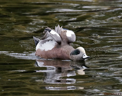 10261971935asmweb (ecwillet) Tags: americanwigeon wigeon duck nikon nikond500 nikon200500f56 boilingsprings ecwillet ericwillet