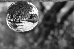 olive tree (Love me tender ♪¸.•*´¨´¨*•.♪¸.•*´) Tags: olivetree tree olive nature lensballs bokeh blur landscape neamakri greece dimitrakirgiannaki ball shape round flickr blackandwhite