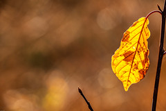 Fields of gold I (*Capture the Moment*) Tags: 2018 2019 backlight backlit bäume filze fotowalk gegenlicht inzell landschaften sonya6300 sonye356318200oss sonyilce6300 trees