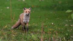 Fox, Loddon River (rq uk) Tags: rquk nikon d750 nikond750 tamronspaf150600mmf563divcusd fox wokingham lodonriver