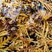 Cedar Cones - Cônes de cèdre