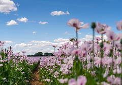 A Touch of Pink (PhilR1000) Tags: flowers poppies pink commercial farm sky shiplake footpath