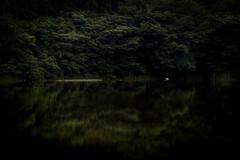 水鏡の上 #1ーOn a glassy surface of water #1 (kurumaebi) Tags: yamaguchi 秋穂 山口市 nikon d750 nature landscape birds 鳥 アオサギ サギ 反射 reflection