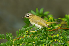Red-eyed Vireo (CR Courson) Tags: redeyedvireo vireoojorojo vireoolivaceus vireonidae vireos viréoauxyeuxrouges birds birdphotography naturephotography nature crcourson chuckcourson