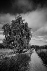 Birke, Weg (tom-schulz) Tags: ricoh grii monochrom bw sw berlin thomasschulz himmel wolken birke weg herbst