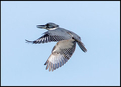 Belted Kingfisher (Ed Sivon) Tags: america canon nature lasvegas wildlife western wild white southwest desert clarkcounty vegas bird flickr henderson nevada
