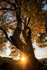 Golden Burst (Joshua Johnston Photography) Tags: tamron1728mmf28diiiirxd oregoncity oregon pacificnorthwest pnw clackamascounty joshuajohnston sonya7iii tree sunset autumn fall