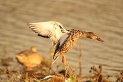 shoveler    (female) (simonrowlands) Tags: shoveler anasclypeata lakes marshes