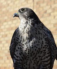 Dyr Falcon (jeffyphotos) Tags: dyrfalcon birdofprey raptor greyfalcon guelphontario