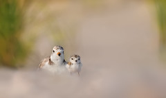 Mom and I (Ania Tuzel Photography - Off till Feb) Tags: pipingplover beach togetherness newyork birdphotography wildfree sieweczkablada charadriusmelodus 1dayold