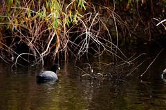 Blässhuhn (pandu.kev.kp) Tags: nature water bird animal green blue coot blässhuhn wasser bewölkt cloudy