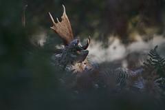 IMG_9279 (Sula Riedlinger) Tags: instagram fallowdeerdamadama fallowdeerbuck antlers deer frost frostymorning greaterlondon greaterlondonwildlife greaterlondonparkswildlife londonroyalparks londonwildlife londonparkswildlife mammal nature richmondpark royalparks royalpark surreywildlife surrey ukwildlife uknature ukmammal urbanwildlife urbannature wildlifephotography wildlife