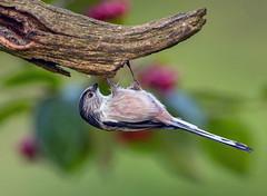 Long-tailed Tit. (pecky2013) Tags: longtailedtit speciesaegithaloscaudatus ukwildbirds woodlands heaths eurasianlongtailedtit hanging