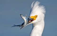 Snowy Egret (Thy Photography) Tags: ciz snowyegrets sonya7rm4 wildlife animal nature outdoor backyard california bird sunrise sunset dawn dusk sunshine thyphotography
