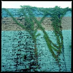 2019-10 H C R03 010 (kccornell) Tags: johnston freetown port rico vines virginia creeper brick wall blues auto parts hasselblad lafayette louisiana 500c 120 medium format film color kodak portra 400 6x6