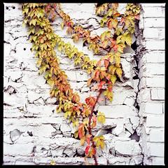 2019-10 H C R03 009 (kccornell) Tags: freetown port rico johnston vines virginia creeper blues auto parts brick wall hasselblad lafayette louisiana 500c 120 medium format film color kodak portra 400 6x6
