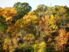 NATURE'S CANVAS (Lisa Plymell) Tags: lisaplymell nikon autumn trees coolpixp900