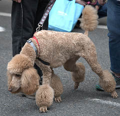 Poodling (Scott 97006) Tags: poodle dog canine animal pet sniff hair haircut cute