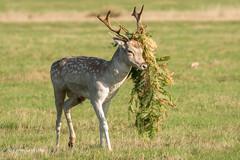 Designer Headgear 502_2282.jpg (Mobile Lynn) Tags: nature fallowdeer deer landmammals damadama fauna mammal mammals wildlife richmond england unitedkingdom coth specanimal ngc npc specanimalphotooftheday coth5