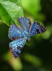 Lasaia agesilas (hippobosca) Tags: insect lepidoptera butterfly riodinidae macro metalmark colombia lasaiaagesilas