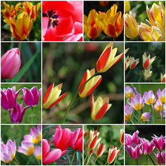 "When It Comes to Gardening Tulips Put a Spring in Your Step! (antonychammond) Tags: fdsflickrtoys tulip flower garden genustulipa familyliliaceae spring perennials contactgroups thegalaxy floralfantasy ""doublefantasy"""
