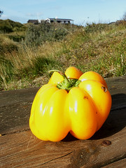 The pepper who thought it was a pumpkin (cats_in_blue) Tags: pepper yellow fanø p y capsicum peberfrugt