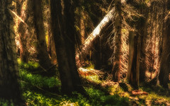 Shaft of Light Illuminates Forest (rigpa8) Tags: oldgrowth forest colorado trees forests light shade illumination ngysaex