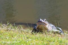Teeth. (mjleblanc92) Tags: teeth alligatorteeth alligator alligatorphotography alligatorwildlifephotography wildlife wildlifephotography alligatorinnaturalhabitat orangebeachalabama swamps