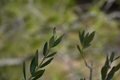 Asílido en el olivo (esta_ahi) Tags: penedès serragavatxa mediona barcelona spain españa испания asilidae diptera insectos fauna olivera olivo oleaeuropaea oleaceae flora