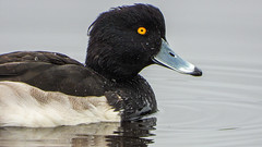 Tuftie (Pendlelives) Tags: tufted duck upper foulridge reservoir colne lancashire male yellow eye blue beak nature wildlife countryside bird birds ornithology pendle pendlelives nikon p1000 clarity vibrant vibrance background animals colours colour color feathers uk british species